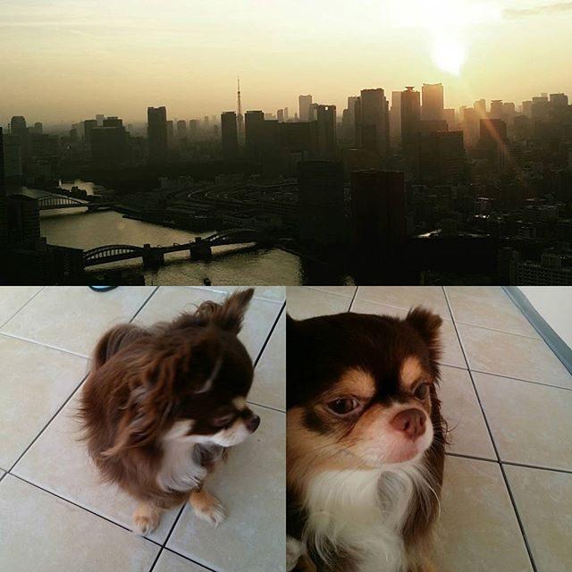 画像: #今日のベランダにて #東京の夕日 #愛犬 #チワワ instagram.com