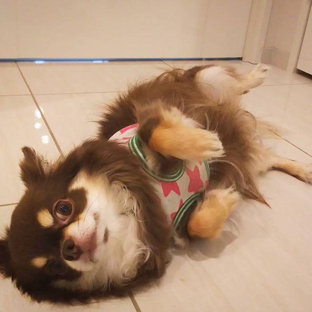 画像: 「なでなでしてー」今日のろくちゃん #ろくちゃん #チョコタンチワワ #なでなでしてほしい #なでなで #チワワ #チョコタン#愛犬 #愛犬家 #うちのこ #うちのわんこ #Chihuahua#chihuahuas #dog #tokyo #jap ... www.instagram.com