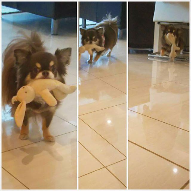 画像: 「おもちゃ投げてほしいワン」 #ろくちゃん #チョコタンチワワ #チョコタン #チワワ #愛犬 #おもちゃ投げて #愛犬家 #うちのわんこ #うちのこ #chihuahuas #Chihuahua#dog #dogs #japan#tokyo www.instagram.com