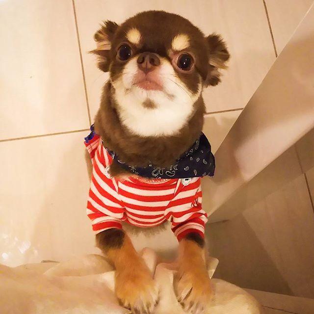 画像: 「おやつ ちょうだいー」 ついつい甘やかしてしまう。 #ろくちゃん #おやつ#おねだり#おやつおねだり #甘やかす#ついつい #ロングコートチワワ #チョコタンチワワ#チョコタンチワワ #チョコタン#チワワ#愛犬#愛犬家 #犬#小型犬#Chihua ... www.instagram.com