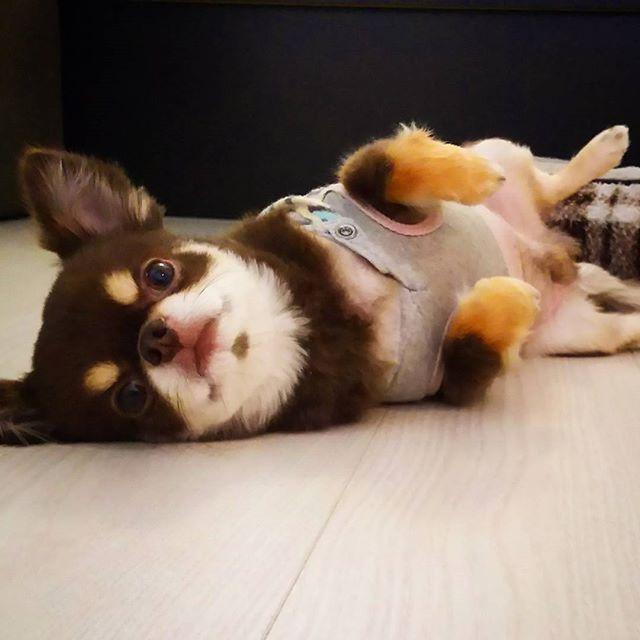 画像: 「なでなでしてよー」 毎度のポーズ #なでなで#なでなでしてほしい#ろくちゃん#チョコタン#チョコタンチワワ #チワワ#愛犬#愛犬家 #小型犬#犬#毎度#毎度毎度 #ポーズ#なでなでポーズ #chihuahuas #chihuahua #dogs  ... www.instagram.com