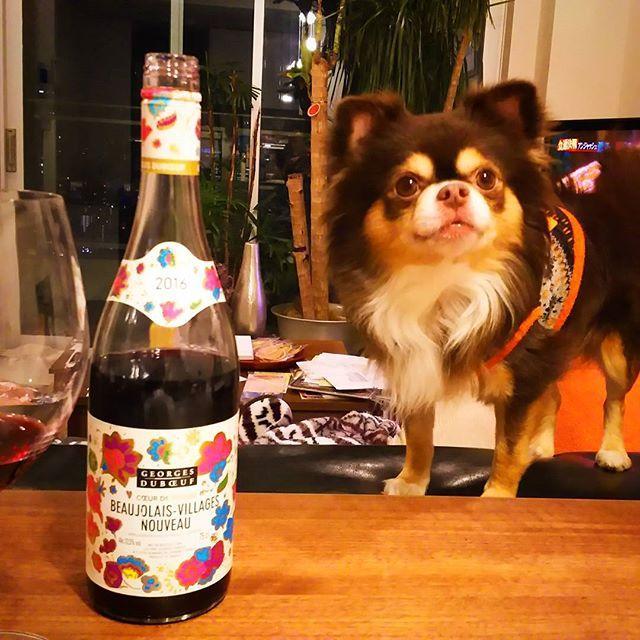 画像: ボジョレーヌーボー帰国後ようやく解禁 台湾旅行だったから、急遽セブンイレブンで購入 #ボジョレーヌーボー #ボジョレーヌーボー2016 #赤ワイン #ワイン#ワイン#ボジョレー#セブンイレブン#りんちゃん #愛犬#デカチワワ#チョコタンチワワ #w ... www.instagram.com