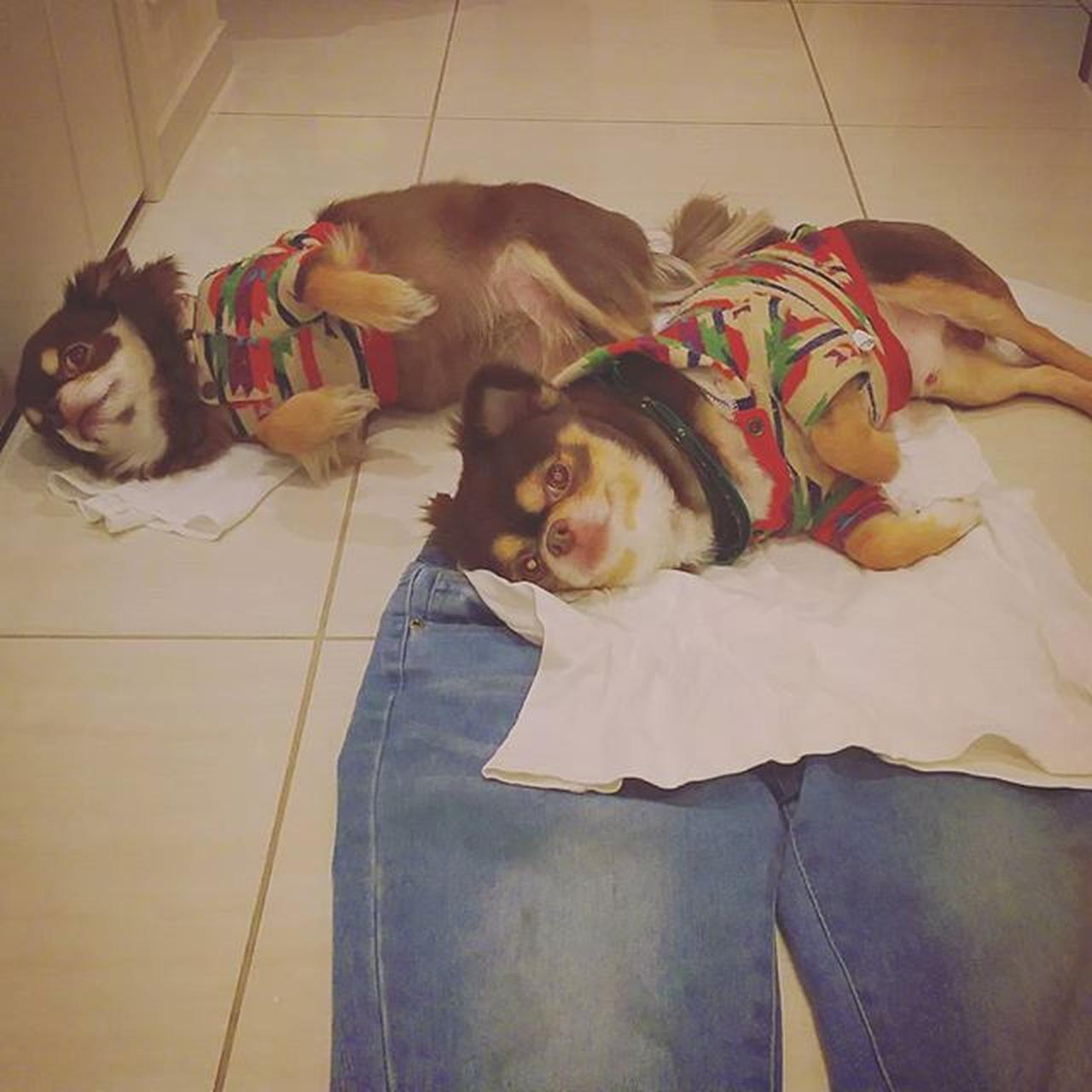 愛しのワンコさん#愛犬#チョコタ...