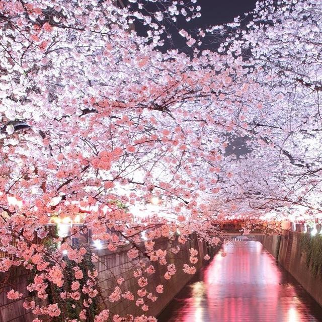 "画像1: 東急電鉄 on Instagram: ""-Sakura info of Meguro River- Cherry Blossom along the Meguro River is nearly its full bloom. There are various Sakura spots around Tokyo…"" www.instagram.com"