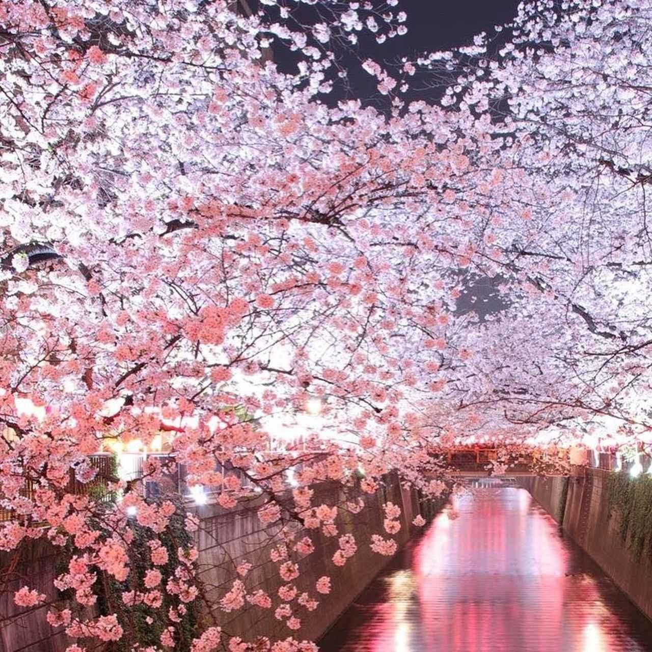 """画像1: 東急電鉄 on Instagram: """"-Sakura info of Meguro River- Cherry Blossom along the Meguro River is nearly its full bloom. There are various Sakura spots around Tokyo…"""" www.instagram.com"""