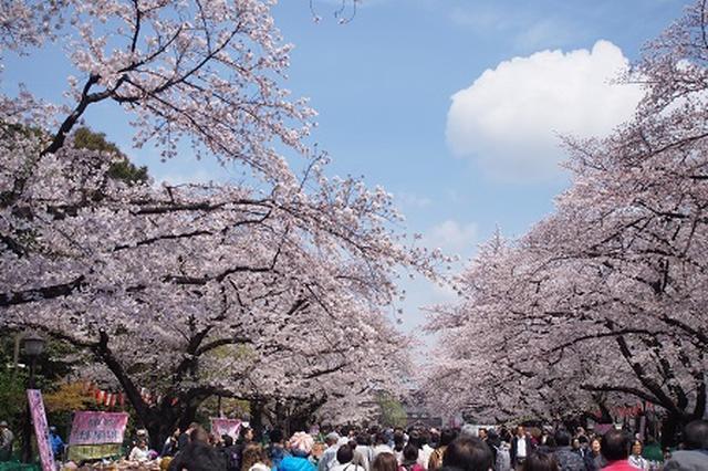画像: うえの桜まつり 台東区ホームページ