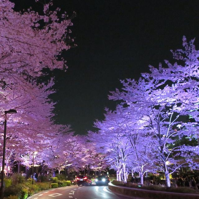 """画像1: tomo*ᵕ̈* on Instagram: """"#夜桜#夜桜ライトアップ#六本木#東京ミッドタウン#東京ミッドタウンの桜"""" www.instagram.com"""