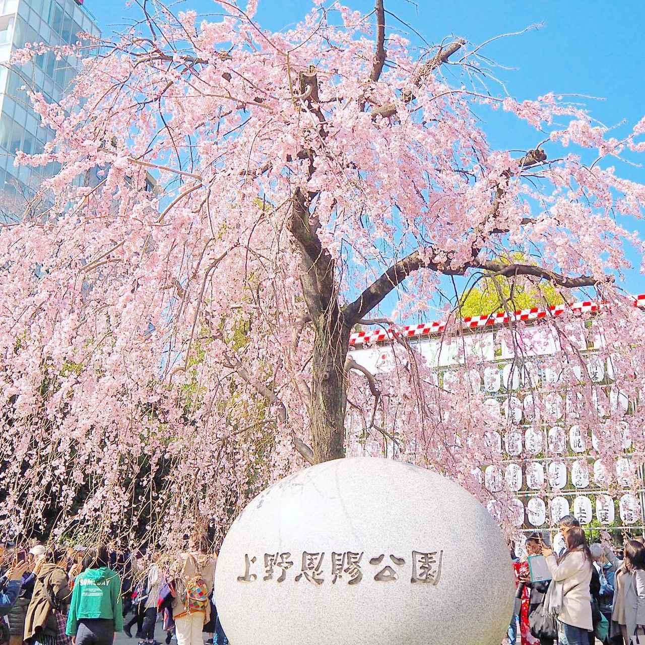 """画像1: yumi♡ on Instagram: """"・*:..。o♬*゚しだれ桜が満開でした**"""" www.instagram.com"""