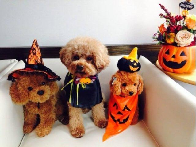 画像: トイプードル限定のハロウィンパーティー登場!!神戸を仮装したプードルがパレードしながらお菓子を配るよ