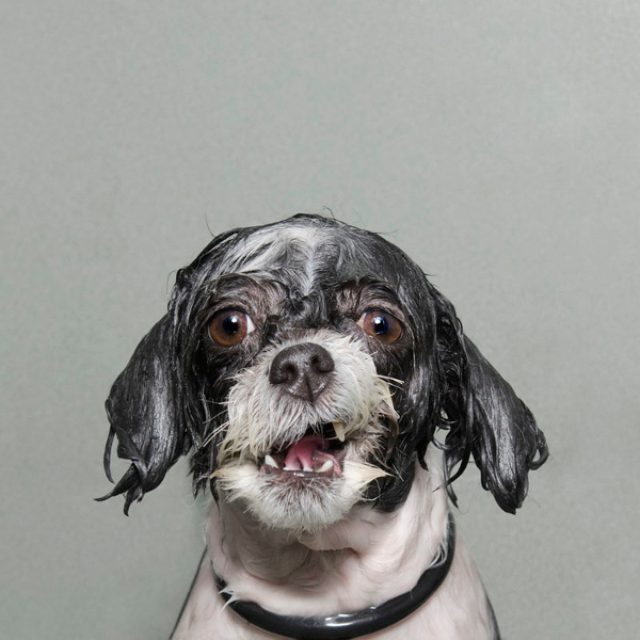 画像: いつもと違う顔に驚き!?シャンプーされて不機嫌なワンコがかわいすぎる