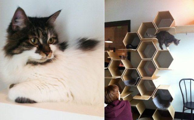 """画像: 里親希望殺到で""""猫不足""""に!?バンクーバーの「猫カフェ」が大人気"""