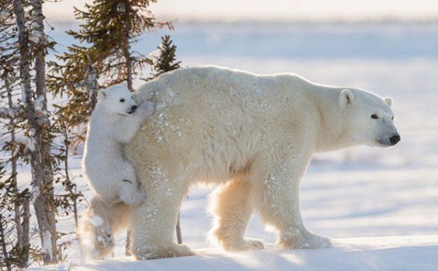 画像: お母さんの背中に乗りたくて一生懸命!白クマの赤ちゃんがカワイイ!