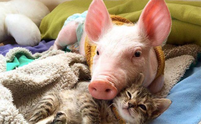 画像: 種を超えた愛に感動!子猫の面倒を見る子ブタが可愛い!