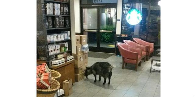 画像: なぜここに...?迷子のヤギがスターバックスに「ご来店」し騒ぎに