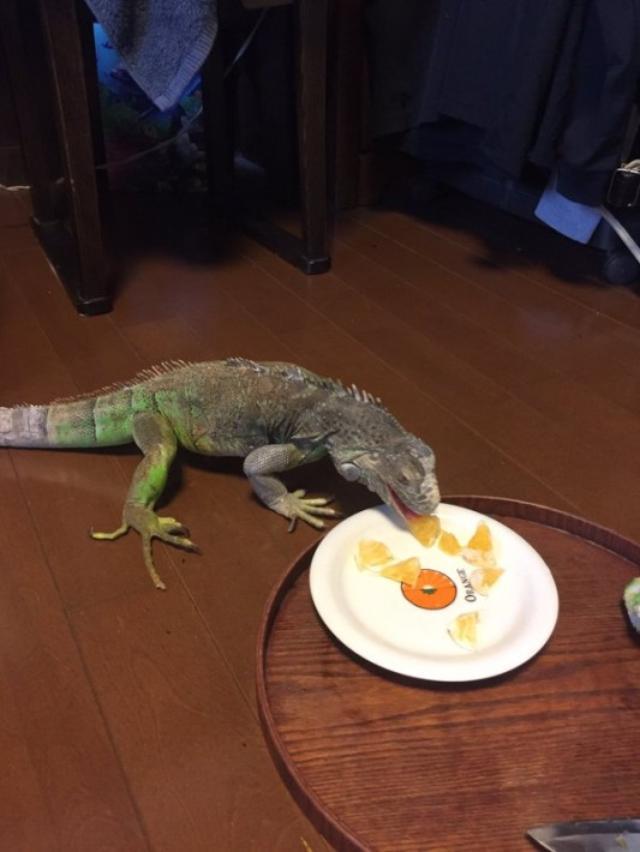 画像: 「それはみかんやけど、絵やで...」お皿に描かれた絵を食べようとするイグアナが可愛いw