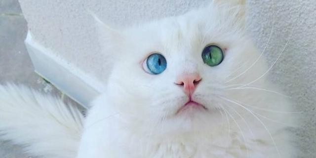 画像: 何が見える...?ブルーとエメラルドの瞳を持つ白猫が美しい