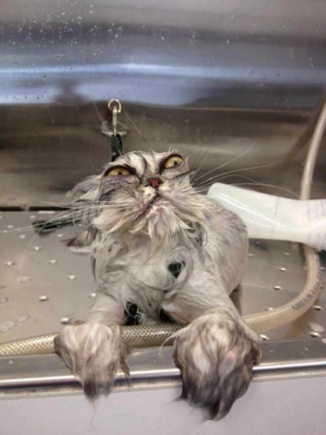 画像: え、誰...!?お風呂に入れられた猫のビフォーアフター写真が笑えるww