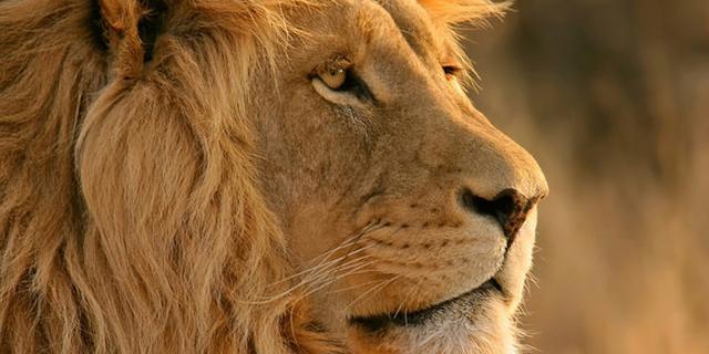 画像: やるせない...自殺しようと檻に入った男性を救うため、飼育員がライオン2頭を射殺