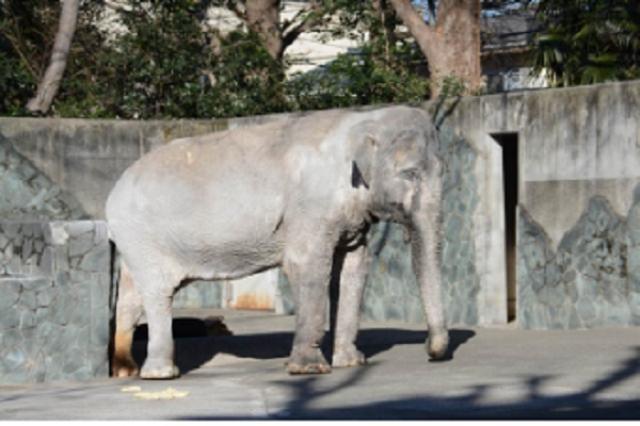 画像1: 井の頭自然文化園のゾウ「はな子」の死に悲しみが広がっている。 井の頭自然文化園のゾウ「はな子」が死ぬ 東京都武蔵野市の「井の頭自然文化園」で飼育されていたアジアゾウの「はな子」が26日死亡した。 ゾウ舎前に設置された献花台に多くの人が訪れ、はな子の死を悼んでいる。 1949年来日、国内最高齢のゾウ はな子は国内最高齢のゾウ。1947年にタイで誕生し、1949年に2歳半で来日。当初は上野動物園で飼育されていたが、1954年に井の頭自然文化園に移された。 26日の朝にはな子が横臥しているのが見つかり、そのままでは内臓が圧迫されて死んでしまうので飼育員らが起こそうと作業をしていたが、15時4分に死亡が確認された。 ネット上には「涙が止まら [...] irorio.jp