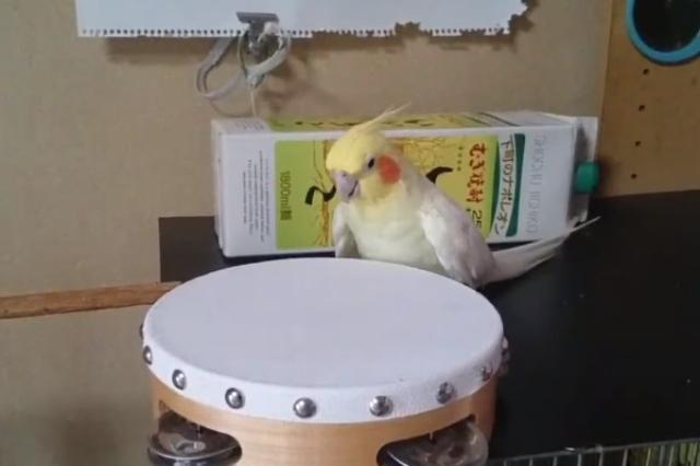 画像1: くちばしを使ってタンバリンを叩くインコの姿が可愛すぎると、Twitterで話題になっています。 演奏もヘドバンも上手なインコ この動画を投稿しているのは、漫画家の花沢りん吉(@iichiko_hana)さん。 楽器店に行って「タンバリンを下さい。」って言ったら店員さんに、 「どのような物をお探しですか?」って言われて、 「インコ用を」とも言えず、困ったのも今では良い思い出w pic.twitter.com/hAJ9iE1uWe — いいちこインコの飼い主@漫画発売中 (@iichiko_hana) 2016年6月1日 動画には、くちばしでタンバリンを激しく叩くインコのハナちゃん(男の子)の姿が映っています。 「テンテンテンテン...!」 [...] irorio.jp