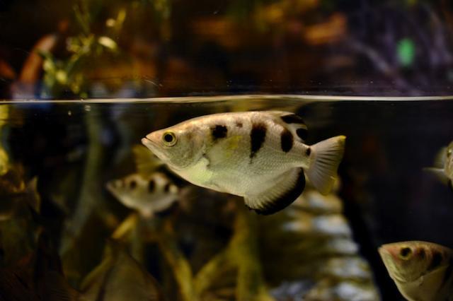 画像1: 熱帯魚の一種、テッポウウオ(鉄砲魚)に人の顔を見分ける力があることが、英国オックスフォード大学とオーストラリア・クイーンズランド大学の共同研究で分かった。 しかも、見分ける正確さは驚くべきものだったという。 顔写真に向けて水を発射するテッポウウオ テッポウウオは、口から水鉄砲のように水を発射し、水面上の虫などを撃ち落として捕食する魚だ。(上の写真) 大学の研究者はこの習性を利用して、魚が人の顔を見分けているのを確かめた。 まず、テッポウウオに特定の人の顔写真を見せ、それに水を発射して当てたらエサがもらえることを教え込んだ。 その後、関係のない別人の顔写真の中に、エサがもらえる顔写真を混ぜて見せたところ、テッポウウオは見事にエサがもら [...] irorio.jp
