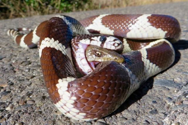 画像1: 自然界における壮絶な瞬間をとらえた写真が注目を集めている。 上にある写真がそれである。 ヘビの中にトカゲ 一目瞭然「ヘビ」の写真だ。しかし、よくご覧いただきたい。写っているのはヘビだけではない。 「トカゲ」も写っているのだ。しかもヘビの口の中に。 丸のみにされながらも逆襲 にわかには信じがたいが、ヘビにのみ込まれたトカゲが、自分を丸のみしたヘビの口から頭を出し、相手に噛みついているのだ。 くだんの写真はredditに投稿され大いに話題となり、現在多くの海外メディアが取り上げている。 米写真家が目撃談語る METROが伝えるところによると、この写真を撮影したのは、自然主義者で写真家のブライアン・スナイダーさん。 ブライアンさんが目撃し [...] irorio.jp