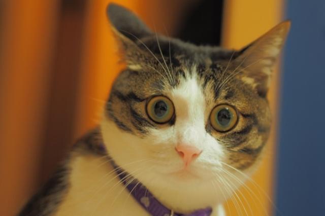 画像1: 猫を撮影する際、カメラの「フラッシュ」を使わないでほしいと注意を呼びかけるツイートが、Twitterで話題になっています。 「フラッシュ」で猫が失明!? このツイートを投稿しているのは、ヤク物(@nezikure)さん。 ある日の深夜、実家からヤク物さんへ連絡がきたそうです。 物凄く気分悪いし、今スゲェ激怒してるので 文章がちゃんとしてるかわかんないですけれど 割と日本中どこでも発生しうる事件なので 本当に気をつけて欲しい 先に結論を言っとくんですけれど 『猫の写真撮る時にフラッシュ使うな』 — ヤク物 (@nezikure) 2016年7月18日 ヤク物さんの実家がある島へ行ってみると、ある問題が発生していました。 なんと、旅行客 [...] irorio.jp