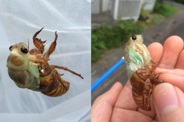 画像1: セミが羽化していく様子の写真が神秘的すぎると、Twitterで話題になっています。 手の中でセミが羽化!? この写真を投稿しているのは、ふくだ(@TF_crafts)さん。 ヤバいヤバい!!!公園で羽化始める前に木から落下した蝉の幼虫いて、今にも死にそうだったからどうにかならないか!と手に持ってから事件が起こった!!! まさかの出てきちゃったという!!!ヤバい!! pic.twitter.com/DqbVBxTuUs — ふくだ (@TF_crafts) 2016年7月23日 ある日、公園で羽化を始める前に木から落ちてしまったセミの幼虫を見つけたそうです。 どうにかならないものかと、セミの幼虫を手に持ってみたところ...。 なんと、手の [...] irorio.jp