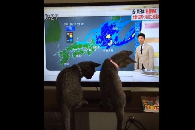 画像1: 気象予報士が持つ「指示棒」の動きに反応するニャンコたちの様子が可愛すぎると、Twitterで話題になっています。 「指示棒」の動きが気になるニャンコたち この動画を投稿しているのは、猫兵(にゃんぴょう)(@nyanpyo)さん。 朝から遊んでもらっちゃってすみません pic.twitter.com/owdn545M0J — 猫兵(にゃんぴょう) (@nyanpyo) 2016年9月19日 動画には、天気予報を真剣にみつめるしらすくん(画像:左)と、じゃこちゃん(画像:右)の後ろ姿が映っています。 気象予報士が持つ「指示棒」の動きが気になって仕方がないようです。 「指示棒」が動くたびに、しらすくんもじゃこちゃんも同じような反応をみせて [...] irorio.jp