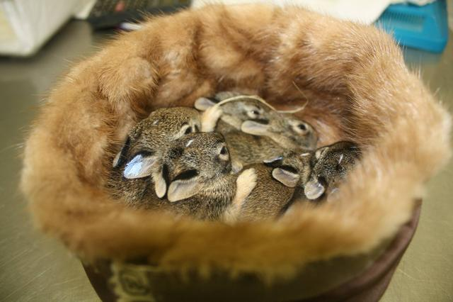 画像1: 動物保護などの観点から、不買運動なども起こっている毛皮の衣類だが、その毛皮で動物の赤ちゃんを救う活動が米国で行われている。 毛皮の衣類の寄付を募集 動物愛護団体、Born Free USAが行っているキャンペーン「Fur for the Animals(動物たちに毛皮を)」だ。 2014年に始まり、今年で3年目になる。 毎年9月から12月末まで、毛皮の衣類を募っている。 保護センターなどで動物の癒しに 同団体では、募集の締め切り後、それを各地の動物保護センターなどに送付。 各センターでは主に動物の子どもたちにそれを与えている。 Aww! Pics of rescued #wildlife snuggling in donated f [...] irorio.jp