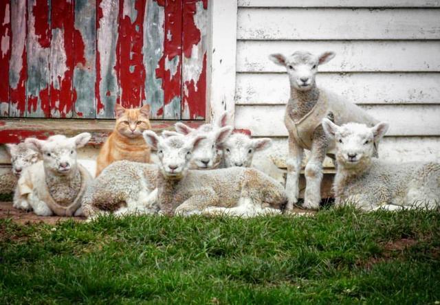画像1: ニュージーランドの牧場で羊たちの「リーダー」となっている猫が話題です。 牧場の子羊たちと3晩 猫のスティーブは、生後8か月のころまで家の中からほとんど出ない家猫だったそう。 しかしそのころ、家の中に子羊たちがやってきました。 スティーブの飼い主、アマンダ・ウィットロックさんは、経営する牧場の子羊たちを寒さから守るために家の中で3晩、過ごさせたといいます。 その間、スティーブは子羊たちと過ごし、彼らに馴れるどころか「リーダーのようになった」とウィットロックさん。 スティーブに付き従う子羊の群れ その後スティーブは家の外で過ごすようになり、子羊たちはスティーブが行くところ、どこへでも群れをなしてついていくのだそうです。 スティーブが何か [...] irorio.jp