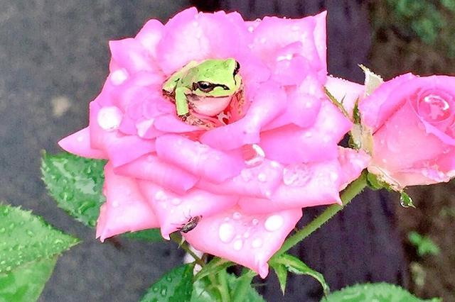 画像1: 薔薇の上にのっているカエルの姿が可愛すぎると、Twitterで話題になっています。 童話のような組み合わせ この写真を投稿しているのは、公民先生(@civics_t)さん。 なんで、こいつら薔薇の上のってんの?おれ乗せてないよ?何様だよ降りろよかわいいな。 pic.twitter.com/r0uqy0xkwc — 公民先生 (@civics_t) 2016年9月12日 ある日、庭で育てていた薔薇の上に、2匹のカエルがのっていたんだとか。 ピンク色の薔薇とカエルのコントラストの美しさに、思わず見とれてしまいます。 2匹のカエルも、薔薇の花びらに包まれて心地よさそうです。 なんだか、童話の「かえるの王子様」や「おやゆび姫」を連想してしま [...] irorio.jp