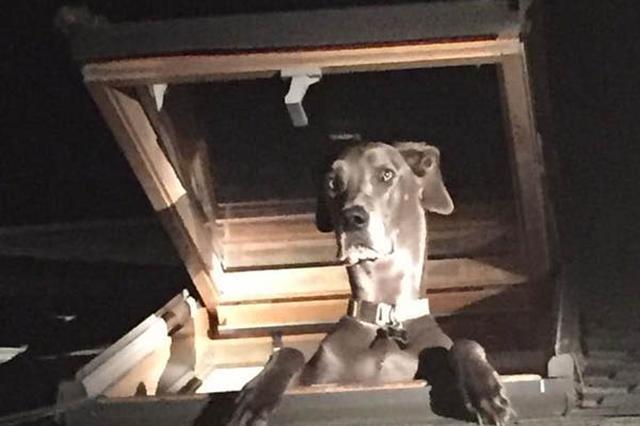 画像1: 1人で留守番をしているとき、家の中で怪しい物音がしたら、思わず警察に通報したくなるのが人情だろう。 おまけに、飼い主に危険を告げるべく、愛犬たちがワンワン吠えたてれば尚更である。 「侵入者あり」と通報 The Dodoが伝えるところによると、米カリフォルニア州に住む18歳の男性も然り。 日本の110番にあたる緊急通報911に電話し、「誰かが家の中に侵入したようだ」と告げた。 自らと愛犬の身を守るため、バリケードを築き待っていた男性は、保安官らが到着した際、「泥棒が入ったようだ」と震えながら話したという。 2階から怪しい物音 一方、外から家の様子をうかがっていた他の保安官は、確かに何かを引っかくような怪しい物音を耳にした。 音のする方 [...] irorio.jp