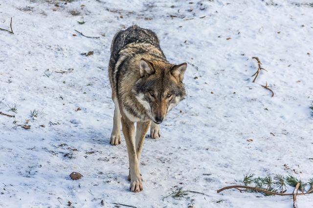 画像1: 輸入した「オオカミ」を放って獣害対策をするという構想がある。 5都市で「オオカミフォーラム」が開催 今月、福岡県や広島、横浜など5都市で「日・米・独オオカミフォーラム」が開催。 オオカミ復活に関する国民の理解を得るためのフォーラムで、アメリカやドイツの研究員らが来日し、オオカミによる生態系保全などについて話す。 シカやイノシシの食害対策に 日本ではシカやイノシシ、クマなど野生の鳥獣による食害が大きな問題となっている。 野生鳥獣による森林の被害面積は全国で約9千ヘクタール。特に深刻なのが「シカ」による木の枝葉の食害や剥皮被害だ。 シカの生息分布はこの36年間で約2.5倍に拡大。各地で林業生産コストの増大や土壌の流出の危険性などが深刻な [...] irorio.jp