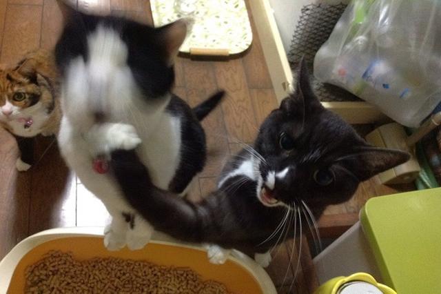 画像1: ご飯待ちの間、隣の「ニャンコ」に猫パンチをする「ニャンコ」の姿に注目が集まっています。 ご飯待ちのニャンコに新たな習慣!? この画像を投稿しているのは、ポッチ(@i_poti)さん。 最近ゴハンの用意を待ってるにっこが、ゴハンを見ながら片手で隣の大福をボコボコにする習慣ができたんだけどなんで pic.twitter.com/7wqVou1SIr — ポッチ (@i_poti) 2016年10月23日 画像にはご飯待ちの間、にっこくん(右)が大福くん(左)に向けて、猫パンチをする様子が写っています。 なぜか最近、ご飯待ちの間、隣にいる大福くんに猫パンチをするようになったんだとか。 誰よりも早くごはんを食べたいのか、容赦なく猫パンチ攻撃 [...] irorio.jp