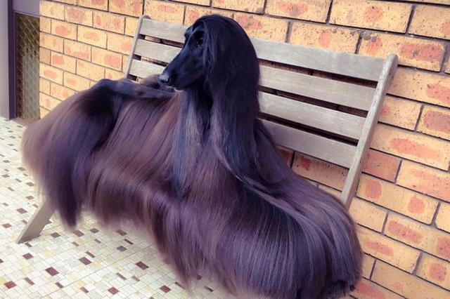 画像1: 光沢を放つ豊かな毛に覆われた犬が、その美しさからネットで話題になっている。 ショーで注目を集めてきた犬 その犬とはオーストラリアのシドニーに住む、メスのアフガン・ハウンド「Tea」。 彼女はショーなどに出て、これまでにも多くのファンを魅了し、数々の賞を獲得してきたという。 飼い主のLuke KavanaghさんはNews Localの取材に対し「週末の散歩でも多くの人から注目されます。 Teaは気にかけていないようしていますが、スーパーモデルと同じように注目されるのが大好きなんです」と語っている。 FBに投稿後、ネットでも話題に またKavanaghさんは「Tea」の写真を継続的に、自身のフェイスブックに投稿。 その結果、多くの人々 [...] irorio.jp