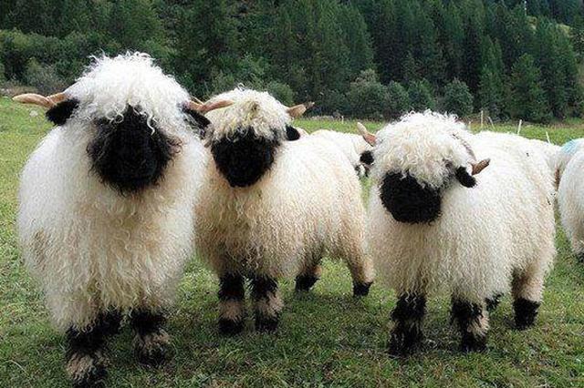 画像1: ヴァレーブラックノーズシープという羊をご存じだろうか? スイスのヴァレー州原産の羊だそうだが、あまり聞き慣れないこの羊に注目が集まっている。 というのも、先日この羊の写真がredditに投稿されたためだ。 それがこちら▼ ご覧のとおり、全身白いモフモフ、フワフワの毛で覆われ、顔まで毛だらけで真っ黒である。 あまりのモフモフ加減に、「世界一可愛い羊」と称されることもあるそうで、投稿にも、「見たら抱きしめたくなること間違いなし」とある。 実際に「可愛すぎる」「飼いたい」「なんて愛らしい」「フワフワで可愛い」とキュンキュンさせられている人も、確かにいる。 しかしこのヴァレーブラックノーズシープ、顔まで毛で覆われているため、ご覧のとおり、目 [...] irorio.jp