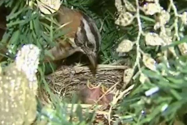 画像1: 家に飾ったクリスマスツリーの中で、鳥のヒナが誕生したとして話題になっている。 枝の奥深くに親鳥が巣を作る この出来事が報告されたのは、ブラジルのサンパウロにあるRe Bragaさんの自宅。 彼女によればクリスマスツリーの飾りつけを行っていた時に、親鳥が枝の奥深くに作った巣を発見、しかもその中に2つの卵があるのを見つけたという。 そのためBragaさん家族は巣をそのままにして、大切に見守ってきたそうだ。 そして先日、家族がテレビを眺めている時に、ツリーからノイズ音が。覗いてみると、巣の中に2羽の雛鳥が親と一緒にいるのが確認された。 家の窓やドアを常に開けていた Bragaさんによれば家族は親鳥が外へ行ったり、戻ったりできるよう常に部屋 [...] irorio.jp