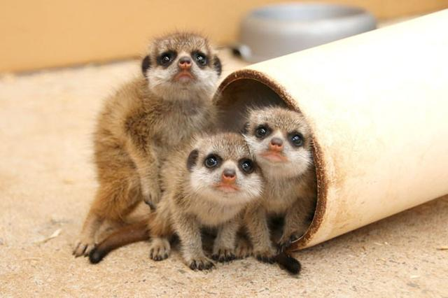 画像1: オーストラリア・シドニーにあるタロンガ動物園に、ミーアキャットの赤ちゃんが誕生しました。 小さな6匹の兄弟 先月11月7日、マプト(父親)とナイロビ(母親)の間に生まれた子どもの数は、なんと6匹! ミーアキャットの母親がいちどに出産するのは3~4匹程度ですが、今回は動物園史上初の記録となりました。 飼育員のCourtney Mahonyさんいわく、このような現象はとても珍しいそう。 この子たちはいちどにたくさんの兄弟が生まれたこともあり、1匹1匹のサイズは今のところ通常よりも小さめ。 しかしそれもまた可愛らしいと、動物園の新たなアイドルとなっています。 好奇心旺盛な子どもたち まだ名前のない赤ちゃんたちはおそらく3匹が雄、残りの3匹 [...] irorio.jp