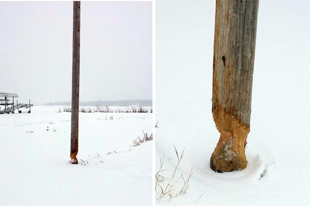 画像1: ビーバーが木の幹を齧って、あっという間に木を倒してしまう——子供向けアニメなどによくあるシーンだが、まさにその証拠といえる写真が、米国ミネソタ州の電力会社「Lake Country Power」のfacebookに投稿された。 木製の電柱を樹木と間違えた その写真には、電力会社からの次のようなコメントが添えられている。 「ビーバーがぐるりと周囲を齧った電柱は、ミネソタ州ウォーカー市のボーイ湖近くのもの。十中八九、木の幹だと思ったんでしょう。電柱1本を立て替えるのに2,750ドル(約32万円)かかります」 これを書いた電力会社スタッフの、ビーバー君への思いは複雑だ。 「まったく働き者の......金のかかるビーバーだ!」と書かれている。 ビー [...] irorio.jp