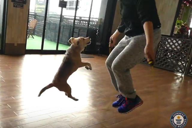 画像1: 埼玉県在住の熊谷誠さんとその飼い犬「プリン」ちゃんが、ペアの縄跳びでギネス世界記録を更新したことが、今月5日に発表された。 1分間に58回跳んだ 11才のビーグル犬「プリン」ちゃんと飼い主の熊谷さんは、1本縄2人跳び(仲良し跳び、一緒跳びなどともいう)を1分間で58回跳び、犬と人間が1分間で跳んだ1本縄跳びの最多回数として認定された。 ギネス世界記録公式サイトの発表によれば、熊谷さんとプリンちゃんは昨年5月にも1本縄2人跳びに挑戦しており、その時も1分間に51回跳んで世界新記録を打ち立てている。今回はその記録をさらに更新したことになる。 天才犬といわれるプリンちゃん 犬のプリンちゃんは、すでに2つのギネス世界記録保持者だ。その1つは [...] irorio.jp