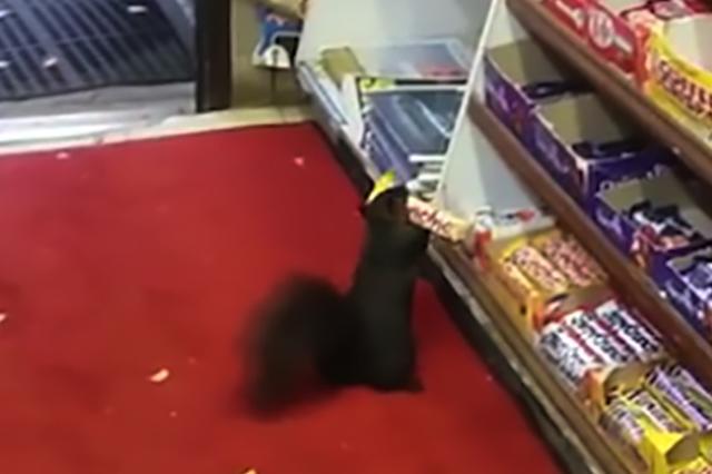 画像1: 米国トロントの食料品店が、連続する泥棒の被害を食い止められず困っている。すでにチョコバーを40本以上盗んでいるその泥棒は、なんとリス。 監視カメラに映った可愛い姿 トロントの食料品店「Luke's Grocery」からチョコレートバーが消えはじめたのは、昨年の秋から。ショップオーナーのポール・キムさんが監視カメラを設置すると、そこに映っていたのはリスだった。 「少なくとも2匹のリスが盗んでいくのは分かってるんだ。黒いのと薄茶色のやつ。本当はもっといるのかも知れないけど」とポールさんは言う。 「チョコバーは下の棚にあって、カウンターにいるこっちからは見えないんだ。でも、カサコソ音がするからすぐわかるよ」 「カウンターから出 [...] irorio.jp