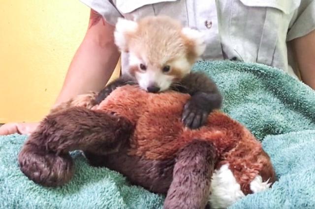 画像1: 愛くるしいしぐさや表情が人気のレッサーパンダ。 ケガで母親と離れ集中看護に その赤ちゃんが、同じレッサーパンダのぬいぐるみを抱きしめる姿が話題になっています。 どちらもぬいぐるみのようですが、抱きしめているほうは本物のレッサーパンダの赤ちゃんのマイヤ。 オーストラリア・シドニーのタロンガ動物園で暮らす生後2か月のマイヤは、母親に口で運ばれているとき、首をケガしてしまったそうです。 今は治療のため、母親と離れて24時間のケアを受けています。 ミルクの時も寝るときも一緒 そんなマイヤを癒してくれているのが、このぬいぐるみ。 ミルクを飲んでいるときも、寝ているときも抱きしめているそうです。 同園のFacebookで「みんなにシェアせずには [...] irorio.jp