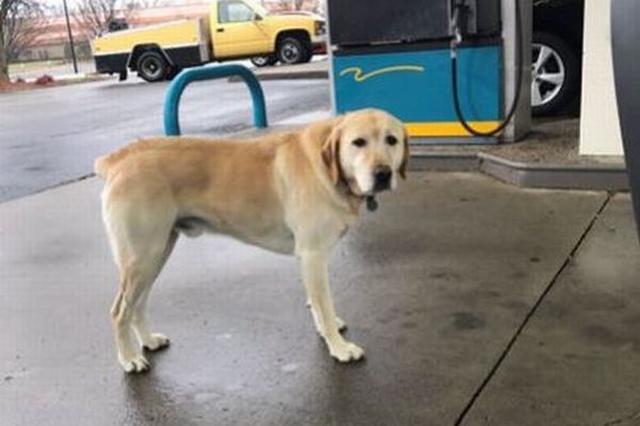画像1: アメリカ人の青年が、犬の首輪のタグにユニークな言葉が書かれているのを発見し、話題となっている。 「僕は迷子ではありません」 その青年とはケンタッキー州に住むTyler Wilsonさん(19)。彼によれば当時、Louisvilleという町にあるガソリンスタンドで給油をしていたという。 するとそこに1匹のゴールデンレトリバーが。彼は以前もそこで給油していた際に、同じ犬を見かけていたそうだ。 そのためWilsonさんは犬が迷子になっていると推測。しかし犬が近づいて隣に座った時に、首輪についていたIDタグを見てびっくり。 何故なら、そこには「僕の名前はDew。僕は迷子になっているわけではありません。歩き回るのが大好きなんだ。どうか僕に家に [...] irorio.jp