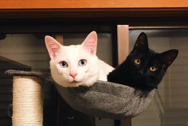 画像1: キャットタワーのハンモックに仲良く入るニャンコの姿が可愛すぎると、Twitterで話題になっています。 1つのハンモックに2匹のニャンコ この画像を投稿しているのは、yuiii@猫5匹(@yy221126)さん。 買ったばかりのキャットタワーが、もうすぐ壊れると悟った今日この頃。 pic.twitter.com/SlWxZTLQXp — yuiii猫5匹 (@yy221126) 2017年1月31日 画像には、キャットタワーのハンモックに仲良く入るブランくん(白猫)とノワールちゃん(黒猫)の姿が写っています。 ブランくんもノワールちゃんも、ハンモックがお気に入りのご様子。 しかし2匹、一緒に入ると、ハンモックの中がぎゅうぎゅうに...。 [...] irorio.jp