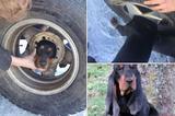 画像1: アメリカでいたずら好きな子犬が、タイヤに頭が挟まってしまい、抜けなくなったとして話題になっている。 獣医も救い方が分からず消防署に連絡 その子犬とはモンタナ州に住むBlaze。彼は主人が留守の間に、車の車輪の中に頭を突っ込んで、抜けなくなってしまったという。 そして主人が家に買ったときにその様子を発見。すぐに動物病院へ連絡をしたとされている。 しかしその獣医もBlazeの姿を見てどうしていいか分からず、地元の消防署、Butte-Silver Bow Fire Departmentへ助けを求めたそうだ。 やがて到着した消防隊のレスキューチームは、なんとかBlazeを救出することに成功する。 作業の間は落ち着いていた子犬 しかし問題は、 [...] irorio.jp