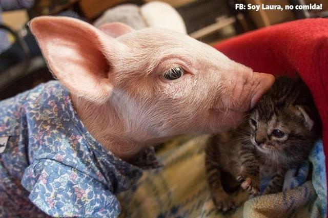 画像1: 今回はぜひ、子ぶたと子猫の種を超えた友情にホッコリとしていただきたい。 子ぶたのローラは、今から約1年前、チリ・サンティアゴにある動物保護施設、「Santuario Igualdad Interespecie」に保護されてきた。 それから数日後、同じ施設に1匹の子猫が保護された。 それがマリーナである。 ローラとマリーナは共に母親を亡くし、過酷な状況にいたところを救出されるという、似たような境遇を持つ。 そのせいかすぐに意気投合し、心許せる同施設で成長を共にすることになった。 2匹は文字どおりいつも一緒。 寝る時だって仲良し一緒である。 愛らしい2匹の姿はYouTubeでも公開されている。 同動画が投稿されたのは約1年前だが、最近一 [...] irorio.jp