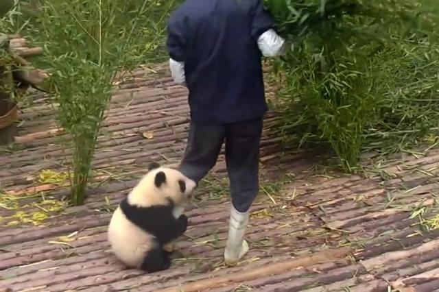 画像1: 中国・成都のパンダ繁殖研究基地の子パンダと職員のやりとりが「可愛すぎる」と話題になっています。 24時間「パンダチャンネル」の動画 同研究基地のパンダ飼育施設の画像が24時間見られる「パンダチャンネル」に投稿された動画には、施設を清掃する職員とパンダの様子が映っています。 笹の入れ替えをする職員に子パンダがしがみつきます。 なかなか離れないので職員はしばらくパンダを足に括り付けたまま仕事をしますが、さすがに...。 で、パンダを離れた場所に置いて仕事に取り掛かります。 でもパンダは諦めません。 一目散に職員目指して戻ってきて、また足にしがみつく...。 繰り返されるこの攻防に、癒される人が続出です。 再生回数1億超え Face [...] irorio.jp