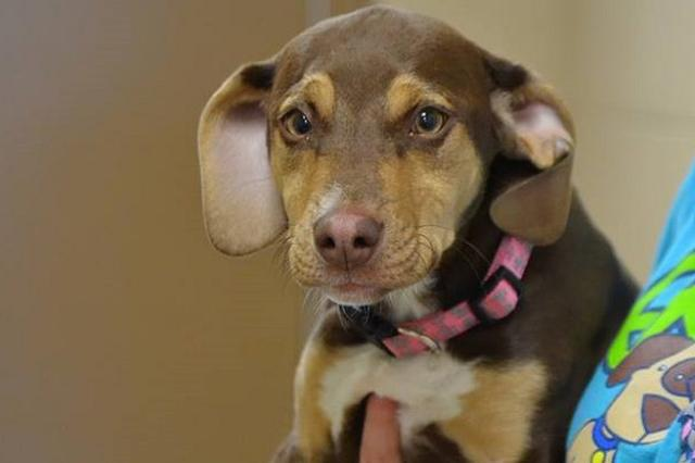 画像1: ヒトから虐待された過去を持つワンコが、3歳の女の子を救ってヒーローとなった。 前の飼い主から虐待を受けていたワンコ 昨年の4月、米ミシガン州にある動物保護施設デルタ・アニマル・シェルターに、1匹のワンコが運び込まれた。 ペチュニアと呼ばれていたその犬は、脚が2本とろっ骨が折れ、胃袋はカーペットで満たされていたという。 しかもその虐待は1度に行われたものではなく、ペチュニアは長い間、苦しい思いをしてきたようだった。当時の飼い主には、動物虐待で有罪判決が下されている。 現在の飼い主から連絡が その後ペチュニアは、シェルターで手厚い看護を受けて回復。新しい飼い主も見つかり、ピーナッツという新しい名前で生活を始めていた。 このヒトから辛い思 [...] irorio.jp