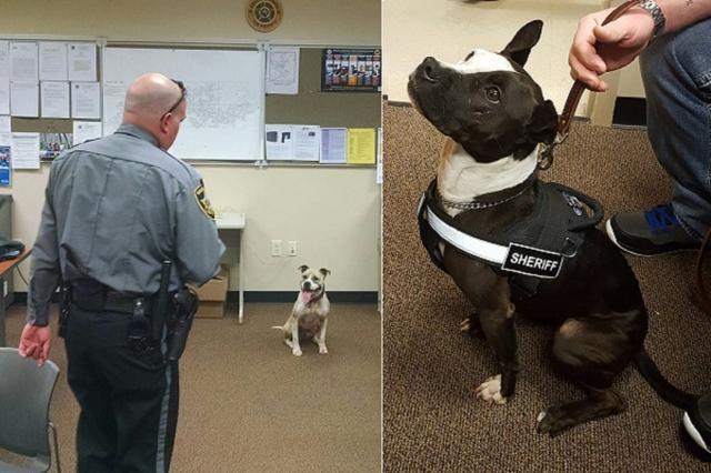 画像1: 3月13日、米ノースカロライナ州クレイ郡にある保安局に、2匹の警察犬サラとファントムが仲間入りした。1歳半から2歳の間とみられる彼らは、その人生の大半である1年間を保護施設で過ごしてきた。 ▼サラと相棒のハーパー保安官補 ▼ファントム 3月15日、クレイ郡保安局は、彼らが警察犬になったいきさつをFacebook上で紹介。保護犬たちも保安局も、そして地域の住民も幸せになる取り組みに称賛の声が上がっている。 敬遠されがちな犬種だったサラとファントム サラはピットブル、ファントムは、ピットブルとボストンテリアのミックス。力が強くて攻撃的な性格というイメージがある犬種だ。 共に救助され、警察犬の訓練を受けたピットブルの中には安楽死の前日に救 [...] irorio.jp